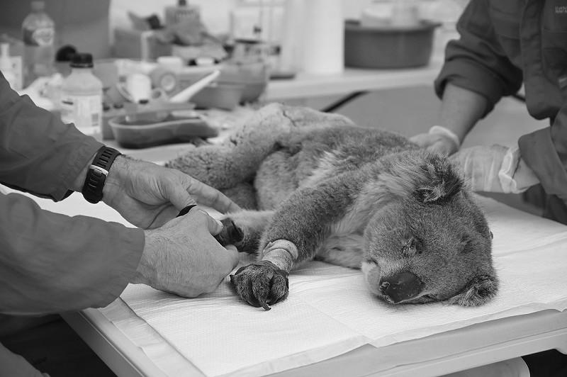 1月14日,在澳大利亚袋鼠岛野生动物园,一只在火灾中受伤的考拉接受救治。</p><p>