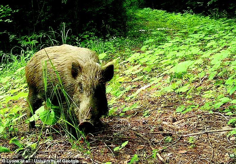 在日本福岛核泄漏区域拍摄到的野生动物。</p><p>